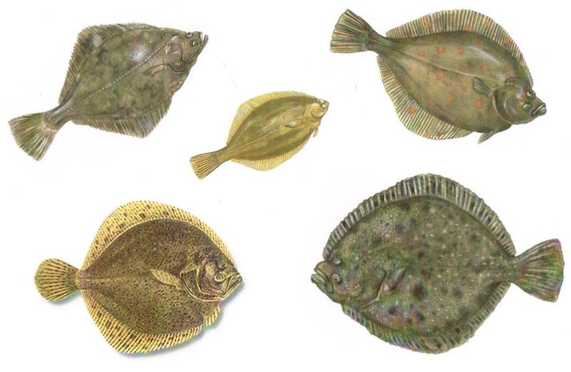 fladfisk.jpg